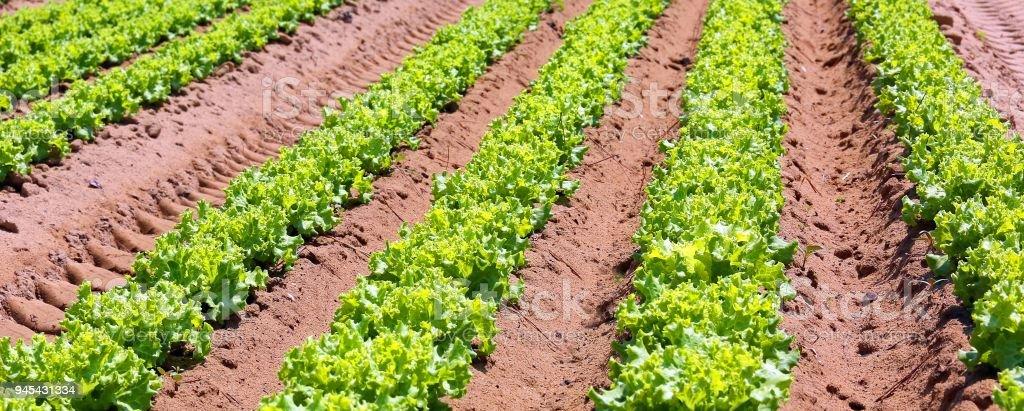 Intensive Cultivation Of Lettuce In Fertile Sandy Soil In The Padana