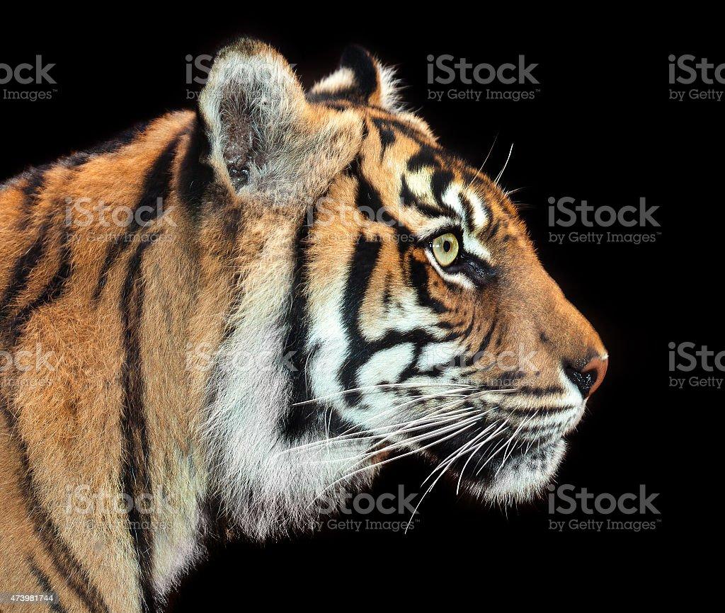 intent tiger stock photo