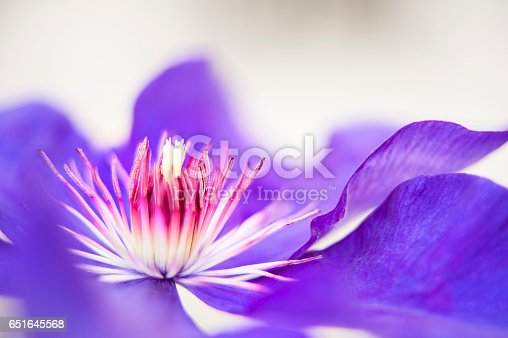 A macro capture of the centre stamen of a blooming purple clematis vine in a spring garden bed.