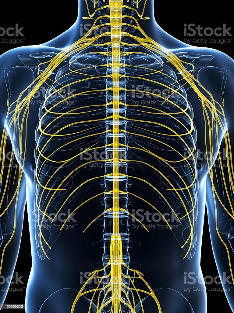 Intercostal Nerven Stock-Fotografie und mehr Bilder von Anatomie ...