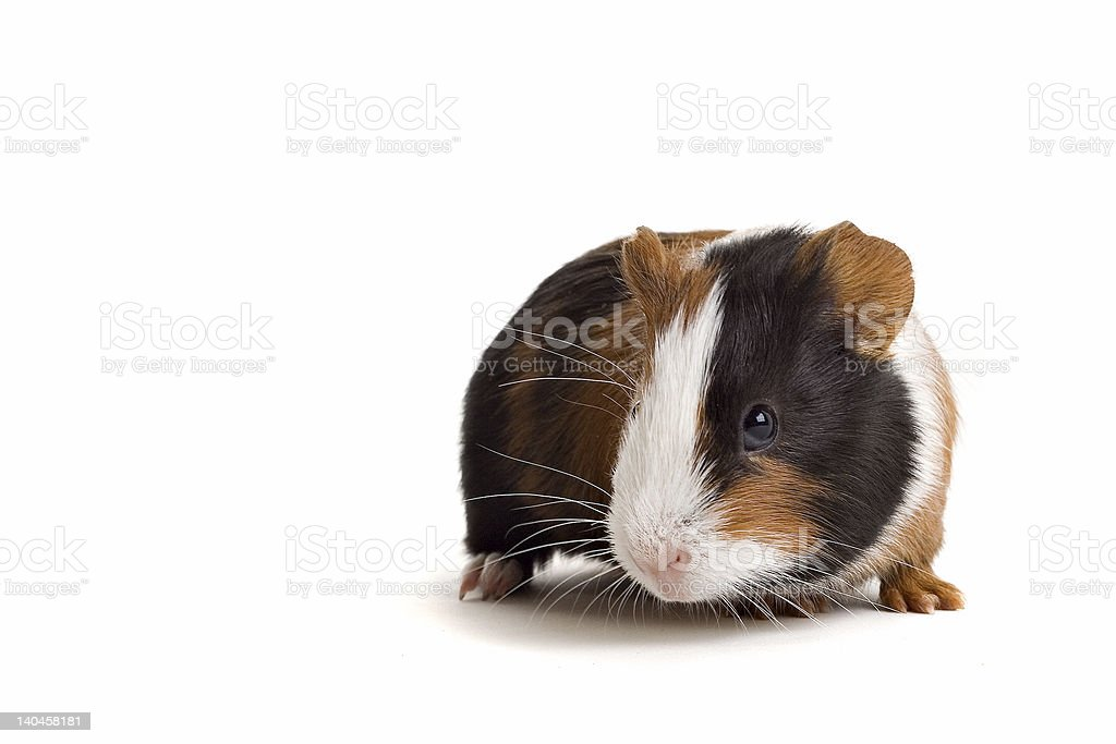 Interested guinea-pig royalty-free stock photo