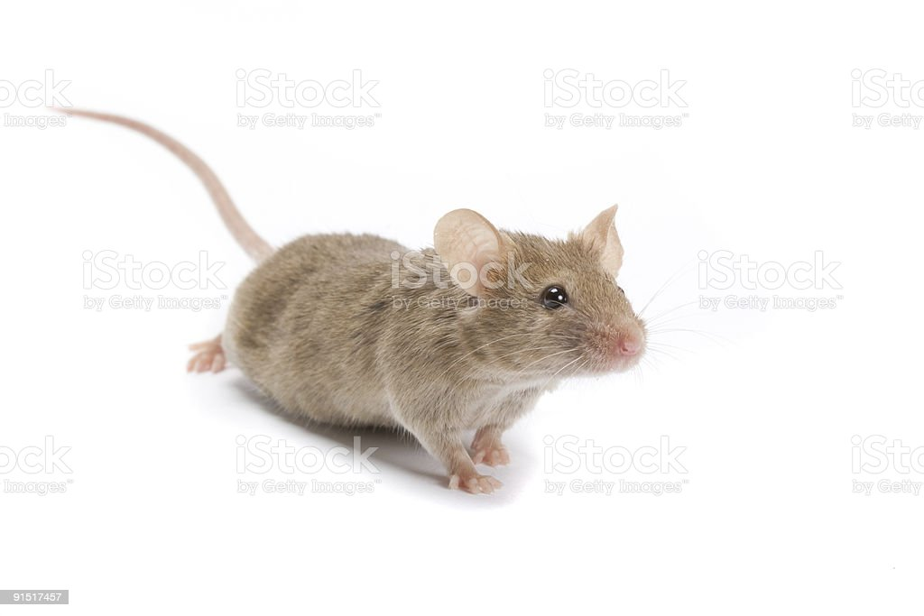 Interested mouse. royalty-free stock photo
