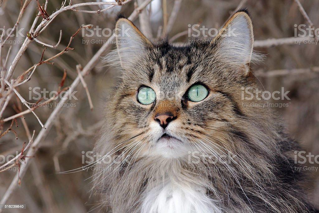 Interessierten Blick auf einen jungen Norwegisch Forest Katze – Foto