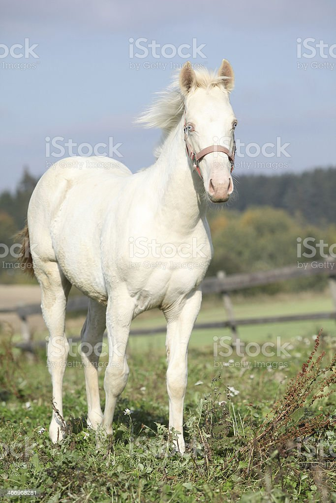 Interesting albino horse with pink halter royalty-free stock photo