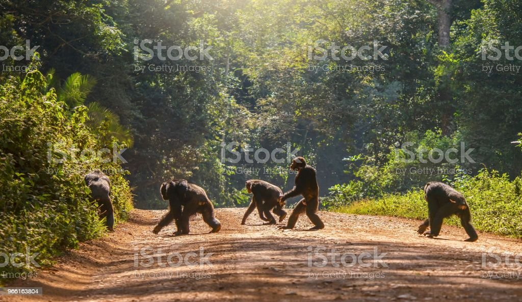Interessante Tierverhalten, mit einem männlichen Schimpansen (Pan Troglodytes) aufrechten, wie ein Mensch über eine unbefestigte Straße. Die anderen vier Schimpansen sind in der üblichen Weise, mit Fäusten auf den Boden bewegen. Uganda. - Lizenzfrei Affe Stock-Foto