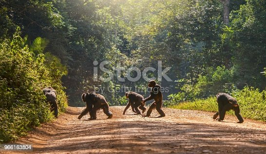 A group of five adult chimps crossing a dirt road surrounded by green forest in natural sunlight, the chimps are almost in silhouette. One chimp is walking with human posture.
