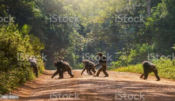 Интересное Поведение Животных С Самцом Шимпанзе Ходить Вертикально Как Человек Через Грунтовую Дорогу Остальные Четыр — стоковые фотографии и другие картинки Шимпанзе
