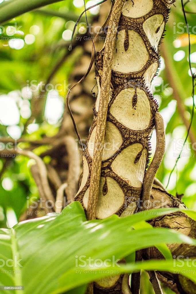 Interesting Bark of Tropical Tree A royalty-free stock photo