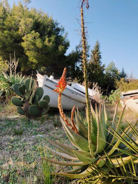 interessanten mediterranen garten mit verlassenen sachen aloe vera schädel kakteen boote - cro maske stock-fotos und bilder