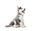 istock Interesting playful puppy of serbian husky looking up. 843177480