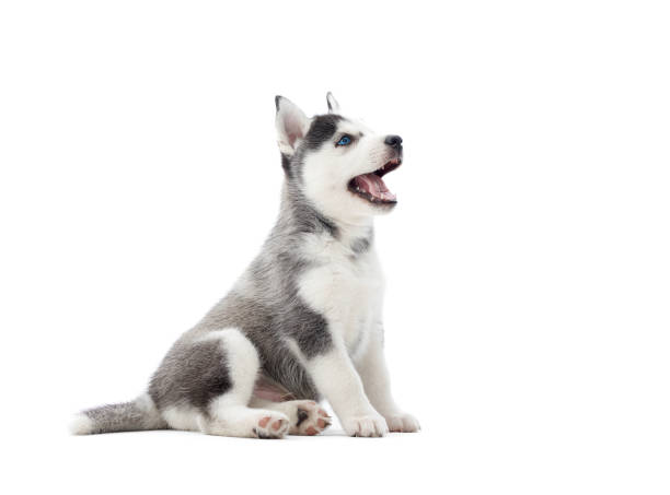 Interesting playful puppy of serbian husky looking up. Interesting playful little puppy of serbian husky with blue eyes, looking up, and waiting for food. Cute small dog with fur like woolf, posing in studio, at white background. Isolate. husky dog stock pictures, royalty-free photos & images