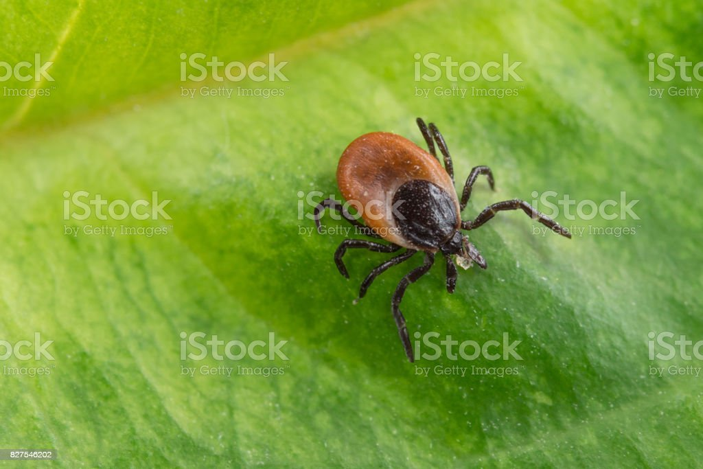 Interesting tick on a green leaf. Ixodes ricinus. stock photo