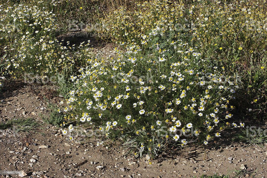 Scentless mayweed white daisy growing on trampled ground royalty-free stock photo