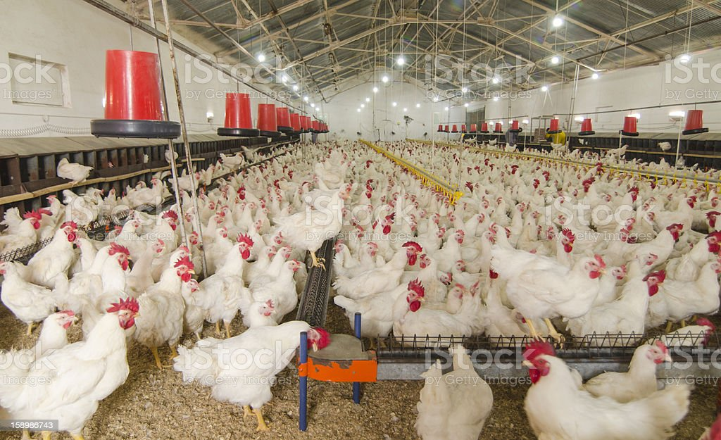 Interior of chicken farm with several chickens stock photo