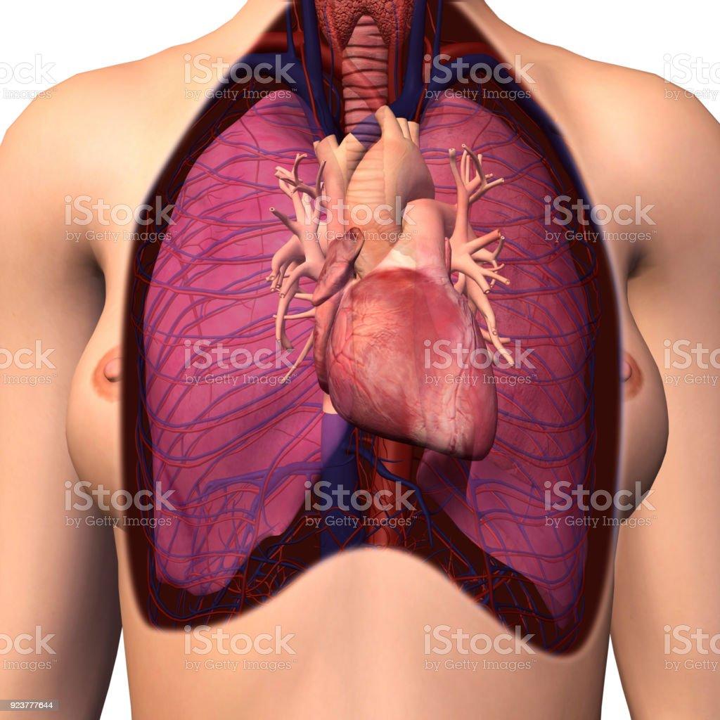 Vista Interior Del Corazón Pulmones Pecho Femenino Anatomía ...