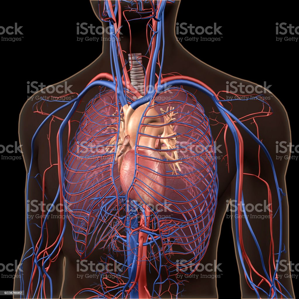 Interior View of Human Chest, Heart, Lungs, Arteries, Veins Anatomy stock photo