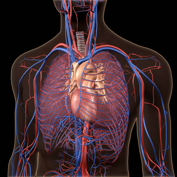 interior view of human chest, heart, lungs, arteries, veins anatomy - body part stock pictures, royalty-free photos & images