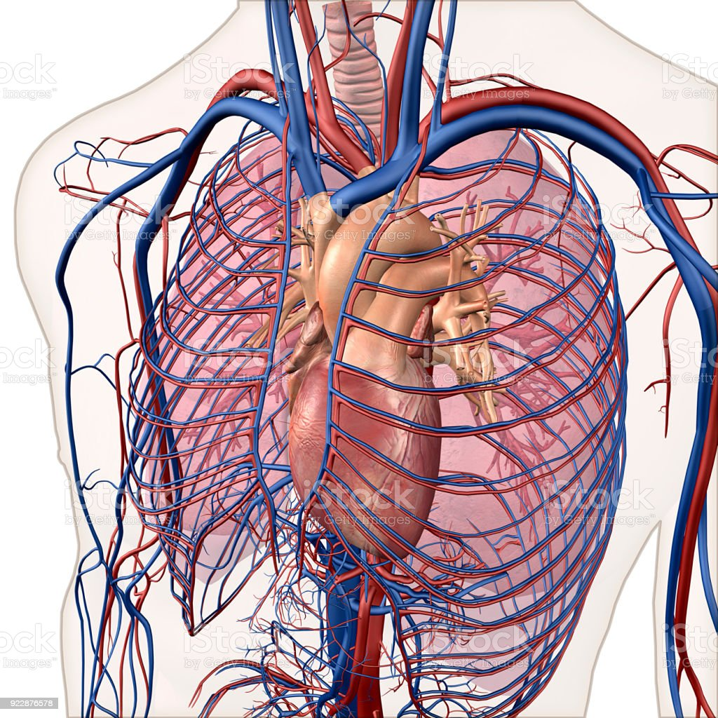 Interior View Of Human Chest Heart Lungs Arteries Veins Anatomy ...