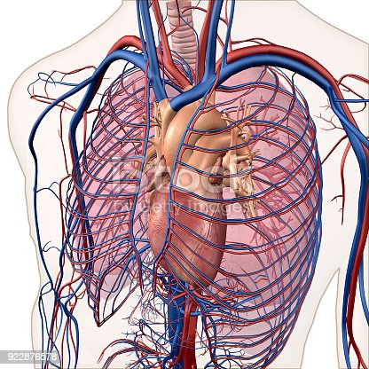 Interior View Of Human Chest Heart Lungs Arteries Veins Anatomy