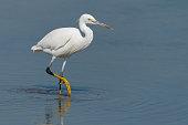 Intermediate egret, median egret, smaller egret, or yellow-billed egret (Ardea intermedia) is a medium-sized heron
