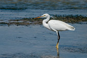 Intermediate egret, median egret, smaller egret, or yellow-billed egret (Ardea intermedia) is a medium-sized heron