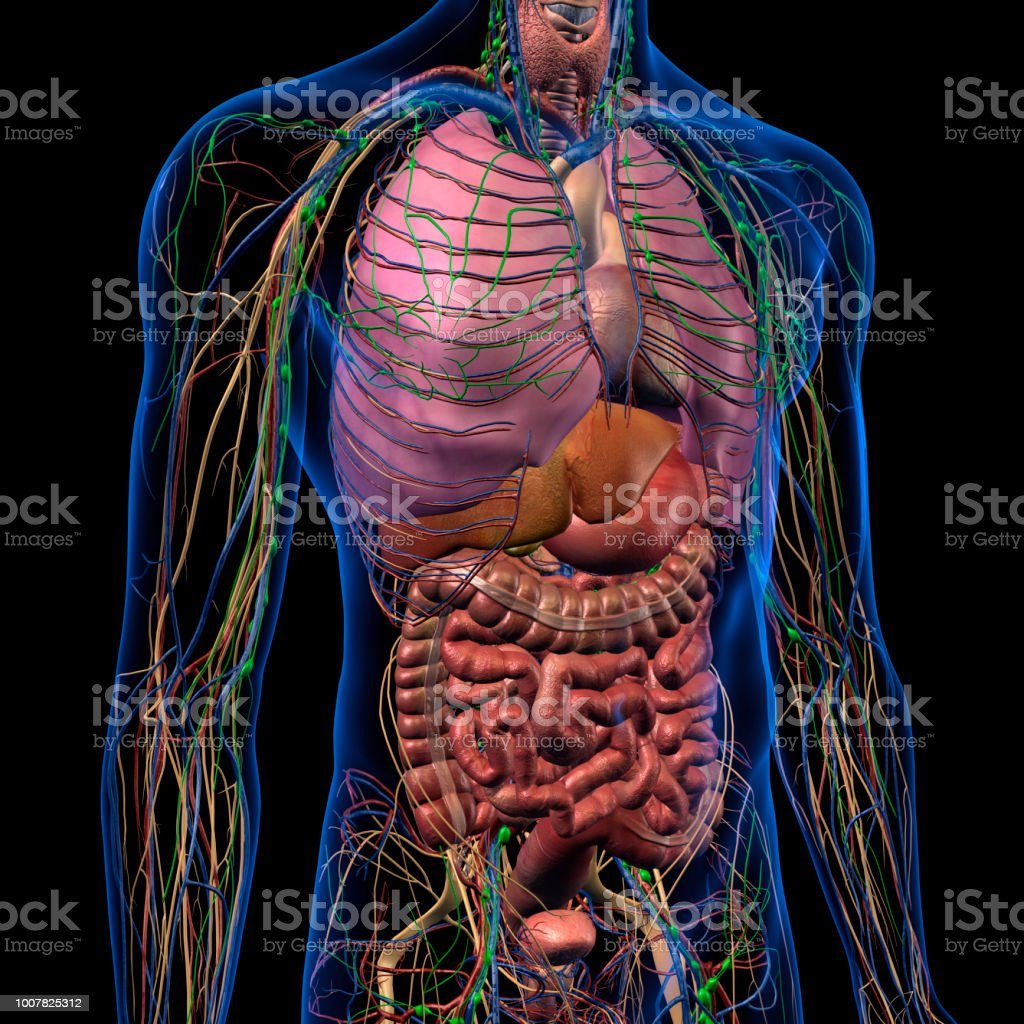 Internal Anatomy Of Male Chest And Abdomen On Black Stock Photo