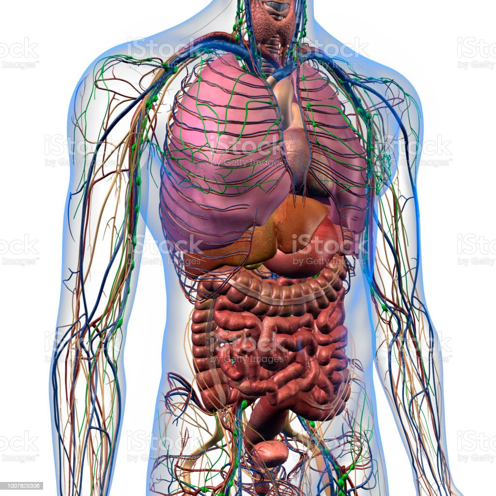 Internal Anatomy Of Male Chest And Abdomen On White Stock Photo