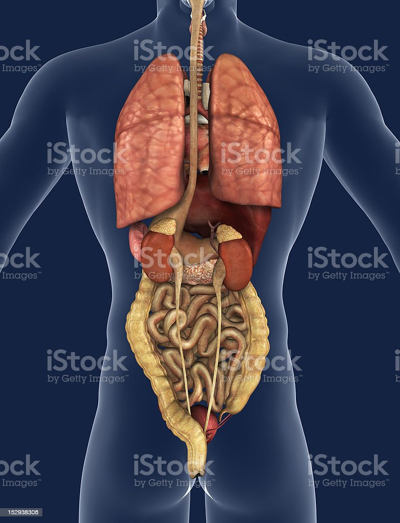 Internal Organs Back View Stock Photo More Pictures Of Anatomy
