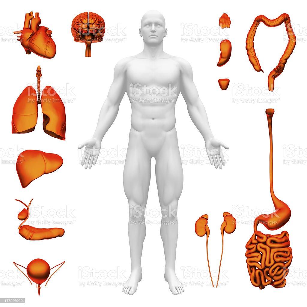 Internal organs - Human anatomy royalty-free stock photo