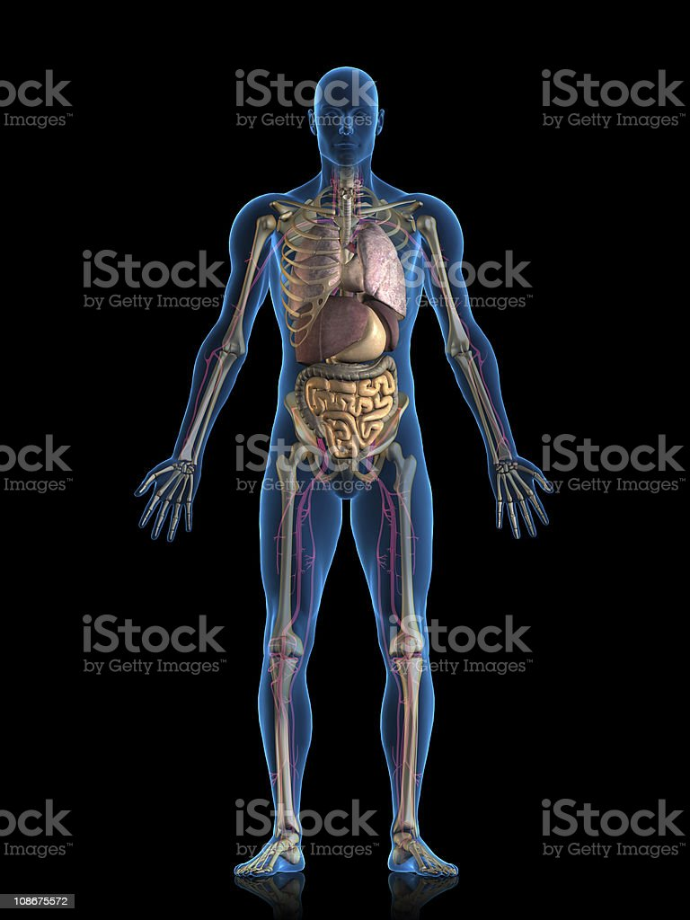 Internal organs stock photo