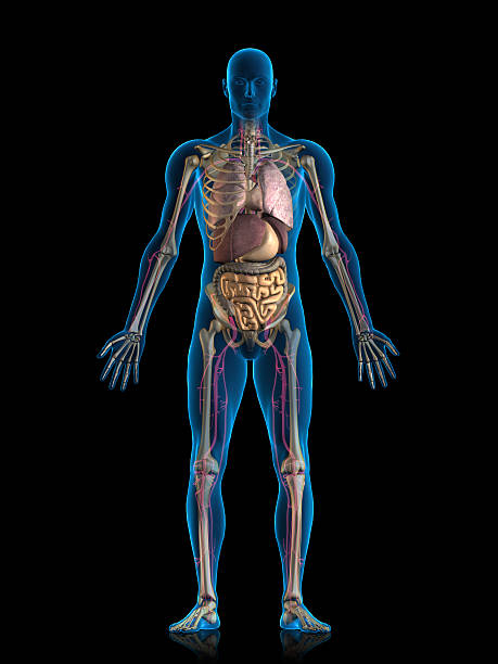 internal organs - illustrations stock photos and pictures