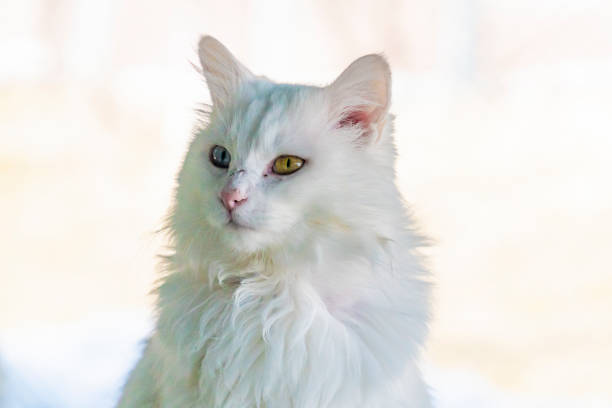 Internationally famous blue and yellow eyed Turkish van cat stock photo