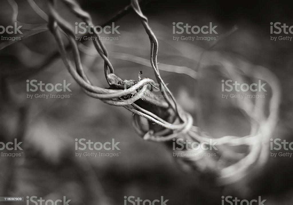 Intertwined ivy stock photo