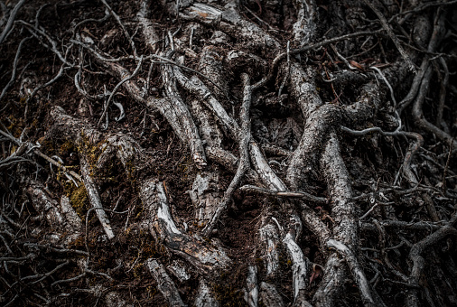 Intertwined roots of a tree in a dark forest. Selective focus. Dark mystery magical background