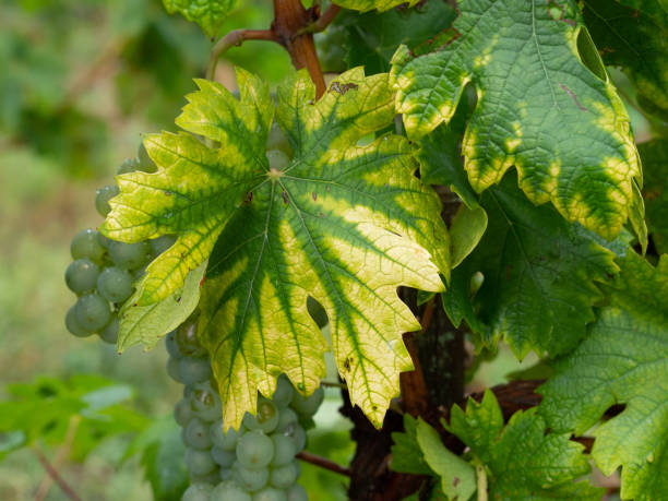 interveinal chlorosis caused by iron or nitrogen deficiency on a grape vine with grapes. agriculture, viticulture problem. - deficient stock pictures, royalty-free photos & images