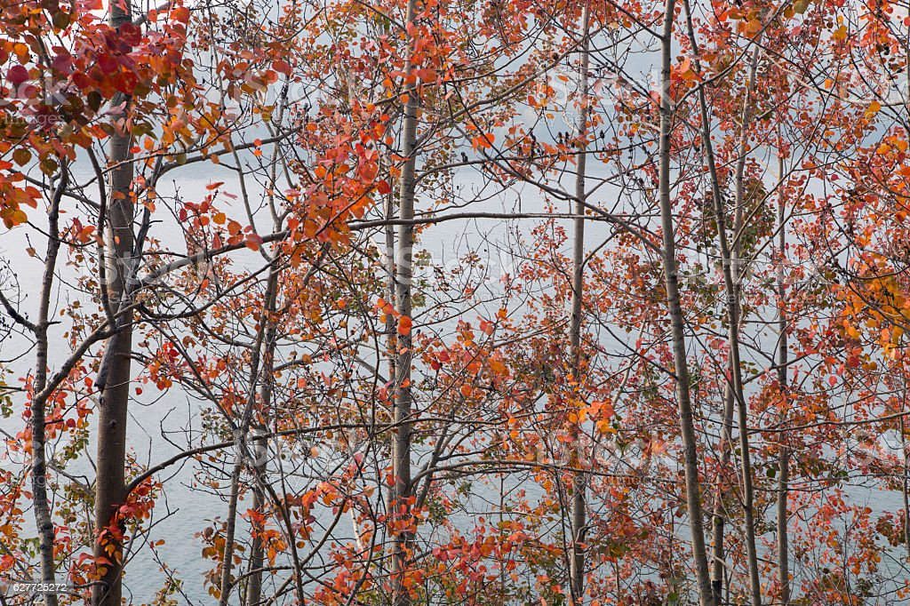 Interweaving branches aspens with red leaves. stock photo