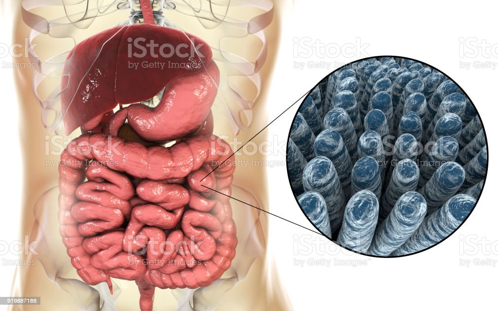Intestinal Anatomy And Histology Stock Photo More Pictures Of