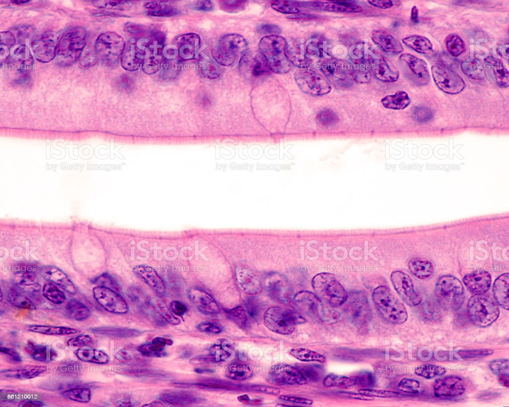 Intestinal epithelium. Brush border stock photo