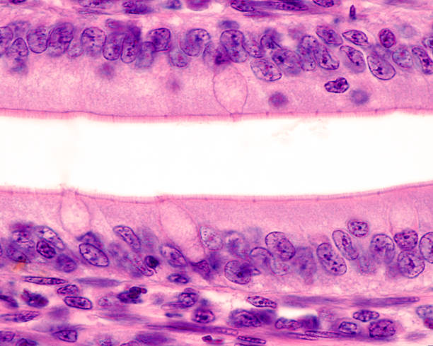 "Intestinal epithelium. Brush border Simple columnar epithelium of the small intestine. The apical surface shows a well developed brush border. In the center, the ""cup"" of three goblet cell are seen. Light microscope micrograph. Hematoxylin & eosin stain. epithelium stock pictures, royalty-free photos & images"