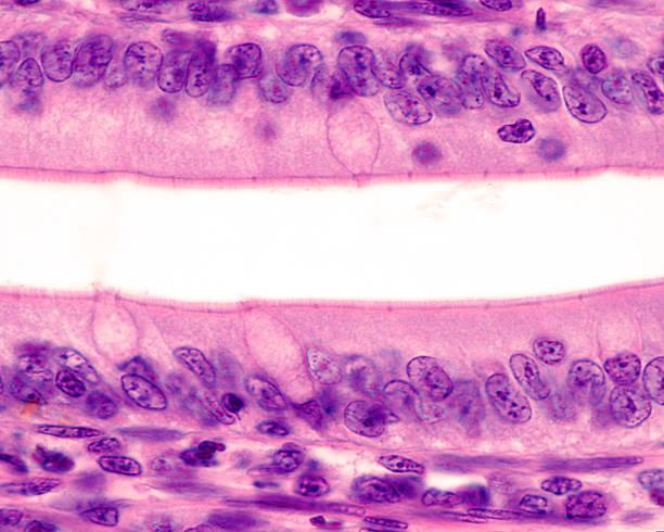Intestinal epithelium. Brush border stock photo