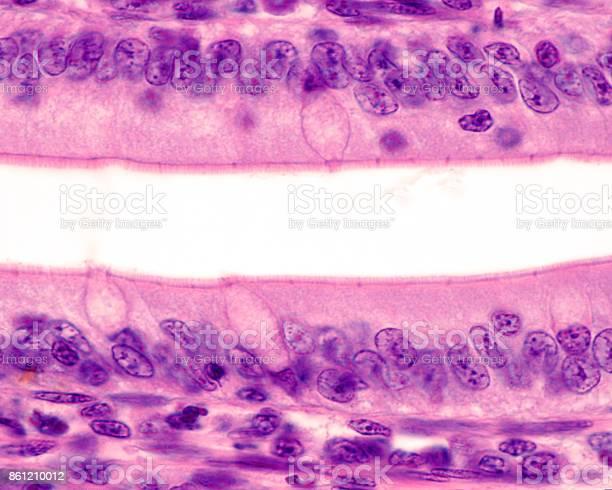 Intestinal Epithelium Brush Border Stock Photo - Download Image Now