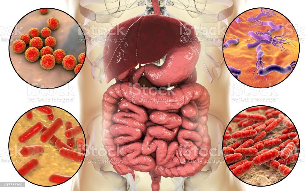 Intestinale Mikrobiom Bakterien Besiedeln Unterschiedliche Teile Des ...