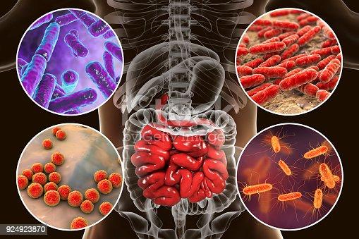 istock Intestinal microbiome, bacteria colonizing small intestine 924923870