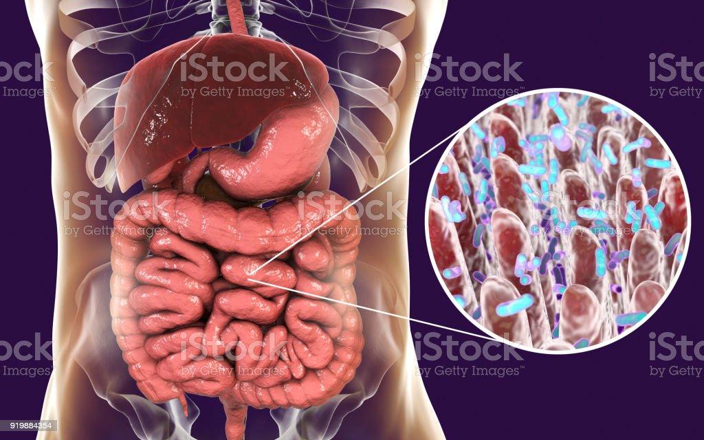 Fotografía de Microbioma Intestinal Vista Cercana De Las ...