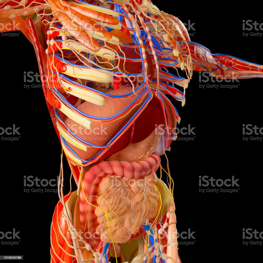Intestine Digestive System Stomach Esophagus Duodenum Colon With