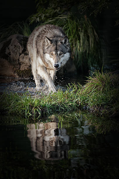 intimidating gray wolf in northern minnesota. - gråvarg bildbanksfoton och bilder