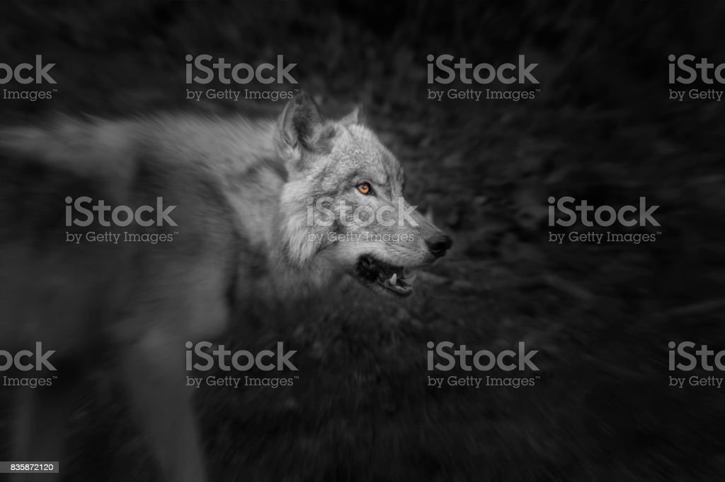 Intimidating Grey Wolf stock photo