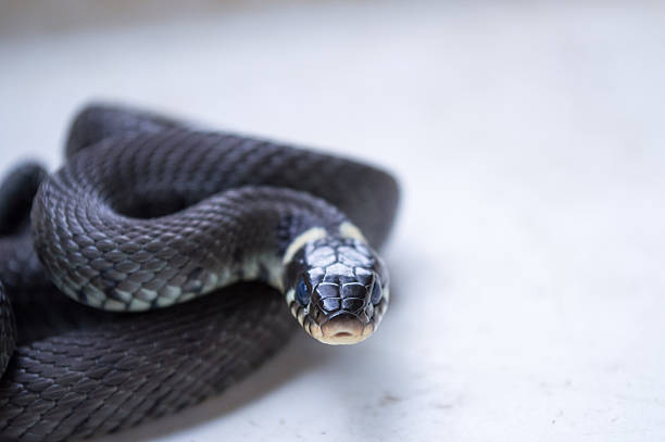 Intimidating Portrait of a Black Snake Looking at Camera stock photo