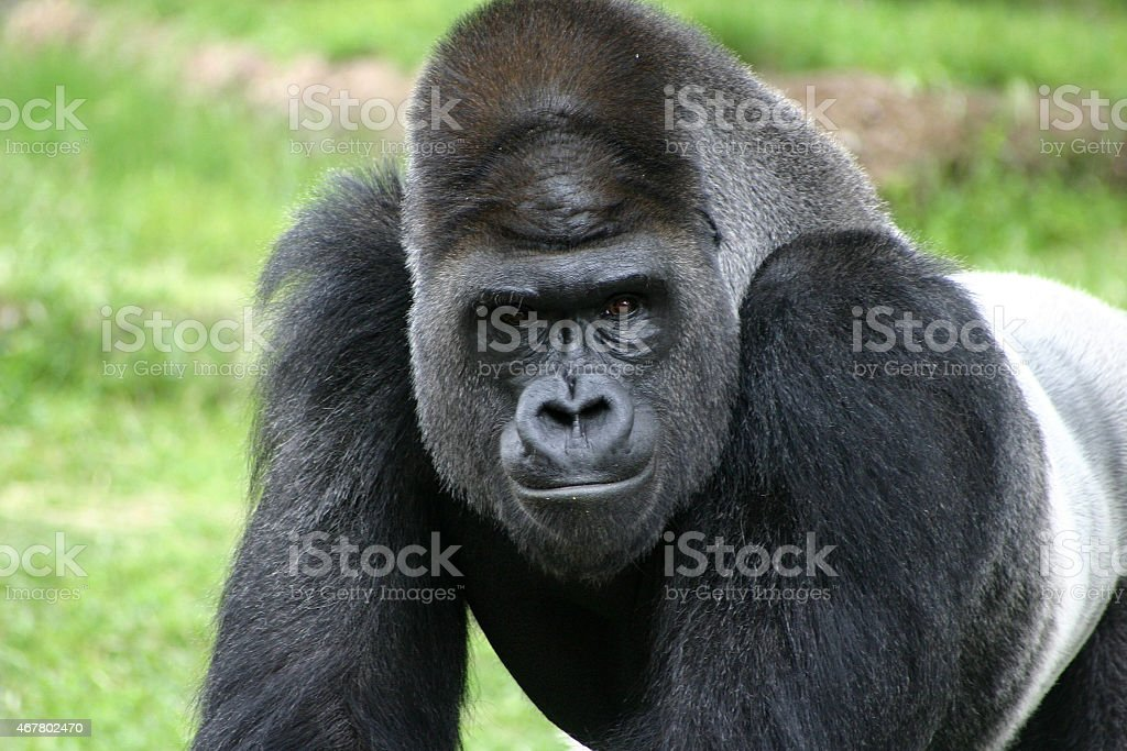 Intimidating Stare from Silver Back Gorilla stock photo