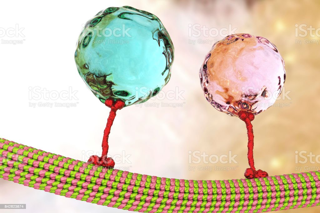 Intracellular transport, kinesin proteins transport molecules moving across microtubules stock photo